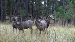 Low Angle Shot of Two Does and Three Fawns Feeding in a Grassy Clearing Stock Footage