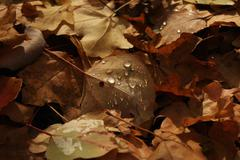 Brown autumn leaves with raindrops Stock Photos