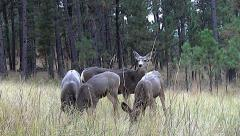 Low Angle shot of Three Fawns and A Doe in a Grassy Clearing Stock Footage