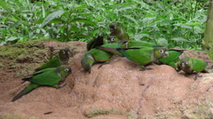 Parrots searching for minerals in Ecuadorian jungle Stock Footage