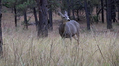 Low Angle Shot of A Mule Deer Doe With Her Head Up and Sniffing Stock Footage