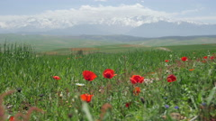 Atlas mountains morocco with poppy flowers Stock Footage