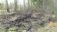 Spring forest after a fire in Russia Stock Footage