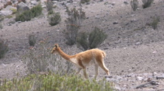 Wildlife shot of vicuna herd, low level tracking shot - stock footage