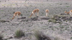 Large heard of vicuna camelids in Ecuadorian highlands Stock Footage