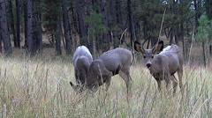 Low Angle Shot of Watchful Mule Deer Fawn With Two Others Feeding - stock footage