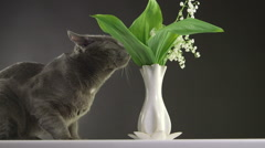 Cat trying to eat lily of the valley at home most toxic plant for cats Stock Footage