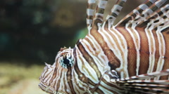 Red lionfish close-up Stock Footage