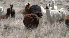 Flock of alpaca camelid in high winds, slow motion pan shot Stock Footage