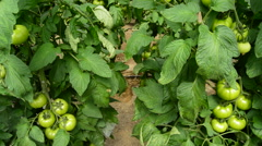 Tomatoes fruit hanging at branch in greenhouse tilt Stock Footage