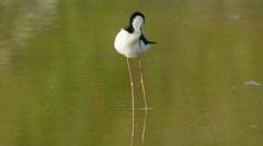 4K Black-necked Stilt (Himantopus mexicanus) Preening 1 Stock Footage
