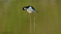 4K Black-necked Stilt (Himantopus mexicanus) Preening 2 Stock Footage