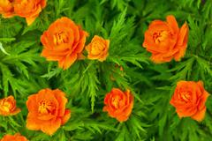 Trollius asiaticus in a garden Stock Photos