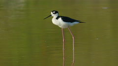 4K Black-necked Stilt (Himantopus mexicanus) Preening 4 Stock Footage