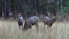 Low Angle Another Shot of Curious Mule Deer Fawns in Medium High Grass Stock Footage