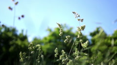 Isolated Waving Long Grass Blowing in  The Spring Wind.Grass Pollen Allergy - stock footage