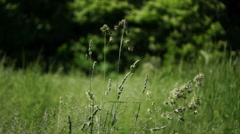Isolated Waving Long Grass Blowing in  The Spring Wind.Grass Pollen Allergy Stock Footage