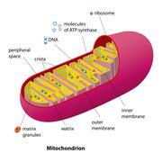 Mitochondrion scheme - stock illustration
