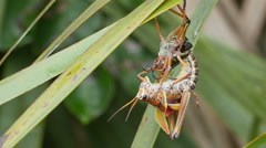 4K Eastern Lubber Grasshopper (Romalea microptera) - Adult Emerging 1 Stock Footage