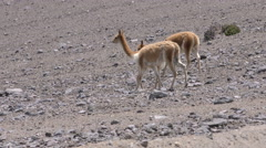 Wildlife shot of vicuna herd with young foal, low level tracking shot - stock footage
