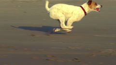 Jack Russell terrier sprint on the beach, slow motion tracking shot Stock Footage
