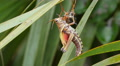 4K Eastern Lubber Grasshopper (Romalea microptera) - Adult Emerging 2 4k or 4k+ Resolution