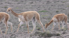 Wildlife shot of vicuna heard, low level tracking shot - stock footage