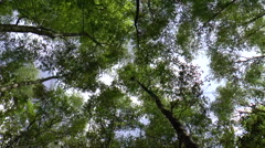 Tree Canopy Time lapse Stock Footage