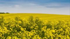 Timelapse of rapeseed crop fields Stock Footage