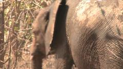 African elephant in the bush Stock Footage