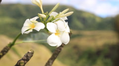 Frangipani of maldives   flowers on GUAM, USA Stock Footage