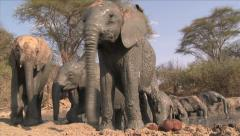 African Elephants getting out of the mud Stock Footage