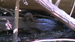 EVERGLADES MINK ON LOG3 Stock Footage