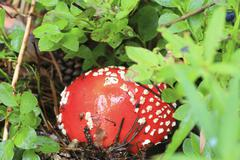 Red toadstool mushroom growing in autumnal forest Stock Photos