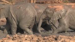 Elephants leaving muddy water Stock Footage