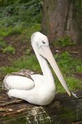 Australian pelican Stock Photos