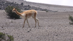 Vicuna on the Chimborazo slopes in Ecuadorian Andes, tracking shot - stock footage