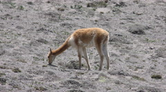 Stock Video Footage of Vicuna camelid grazing on scares vegetation of the Andes deserts