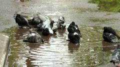 Pigeon having a bath after rain Stock Footage