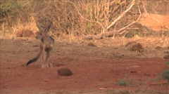 Black-backed jackal in Kenya Stock Footage