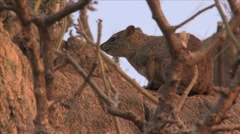 Rock hyrax on rock Stock Footage