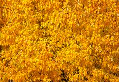 Autumn tree with abundant foliage yellow color ( background image). Stock Photos