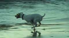 Jack Russell terrier slow motion tracking shot on the beach Stock Footage