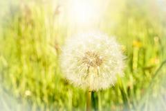 Dandelion in the sun in a meadow - stock photo