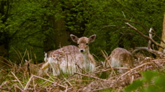 Stock Video Footage of Fallow Deer suddenly pays attention