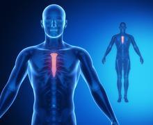 STERNUM bone anatomy x-ray scan Stock Illustration