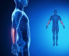 ULNA bone anatomy x-ray scan - stock illustration
