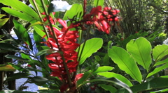 Bright Red Tropical Flowers in the Jungles of GUAM, USA Stock Footage