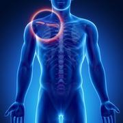 Male bone anatomy Clavicle Stock Illustration