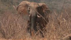 Elephant bull in Kenyan bush Stock Footage